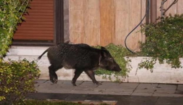 İstanbulda yakalanan ikinci domuz doğaya salındı